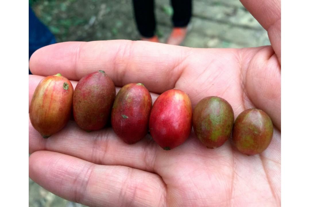 Кофе недели - Мексика Марагоджип