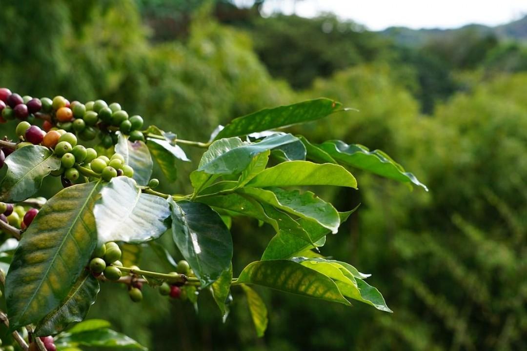 Выращивание кофе на больших высотах – влияет ли на качество?