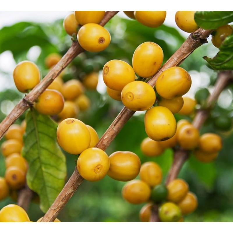 Зеленый в зернах Бразилия Желтый Бурбон Fazenda Miaki: фото - Gardman™